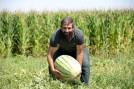 meşhur karpuzun yetiştiği tarlalarda hasat zamanı